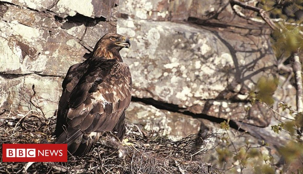 Good nature news Golden eagles breeding success at Scottish Highlands estate